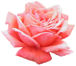250px-Extracted_pink_rose